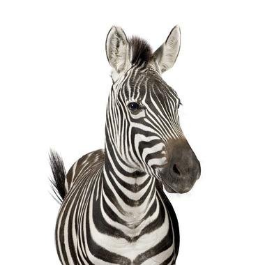 Dekornik, naklejka Zebra