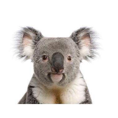 Dekornik, naklejka Koala